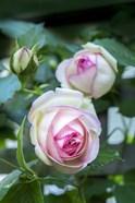 Pink Pierre De Rosard, Eden, Heirloom Roses