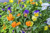 Pansies With Morning Dew