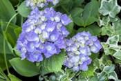 Purple Mophead Hydrangea