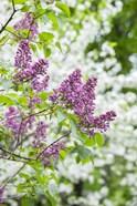 Budding Lilac Bush