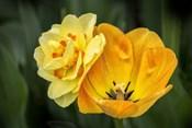Orange Darwin Hybrid Tulip And Double Daffodil