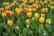 Beauty Of Spring Darwin Hybrid Tulip