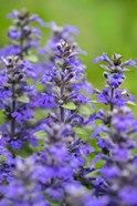 Salvia Officinalis, Common Sage