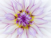 Purple & White Dahlia