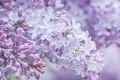 Lilac Close-Up