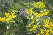 Balsamroot Covering Hillsides In The Spring