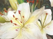 Macro Lilies