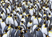 King penguin colony, Antarctica
