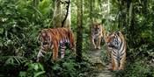 Bengal Tigers (detail)