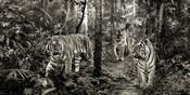 Bengal Tigers (detail, BW)