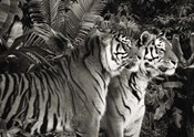Two Bengal Tigers (BW)