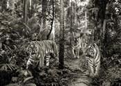 Bengal Tigers (BW)