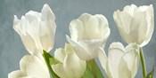 White Tulips on Blue
