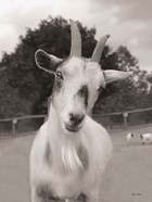 Lake Tobias Goat II