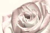 Blush Rose I