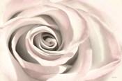 Blush Rose III