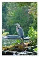 Heron on Lake George