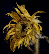 Dried Sunflower 2