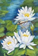 White Waterlilies