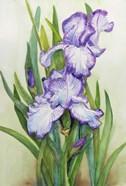 Iris Dressed in Purple and White