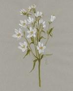 White Field Flowers II