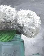 Hydrangea Grannies Garden 1