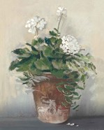 Pot of White Geraniums