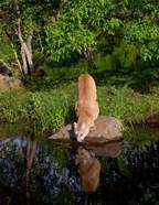 Cougar Drinking