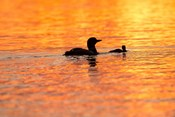 Sunset Loons