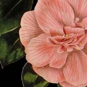 Dramatic Camellia I