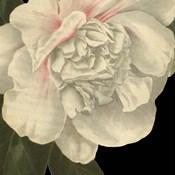 Dramatic Camellia II