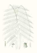 Verdure Ferns I