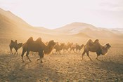 Camels on the Move