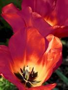 Romantic Tulips I