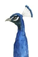 Peacock Portrait II