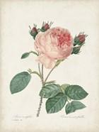 Vintage Redoute Roses V