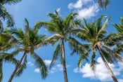 Palawan Palm Trees I