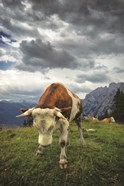 Bowing Cow