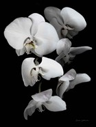 White Orchid III