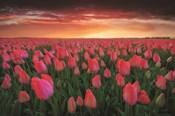 Tulip Field Sunset