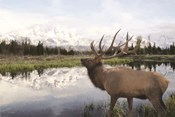 Bull Elk in Tetons