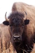 American Bison IV