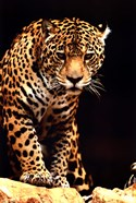 Leopard