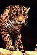 Leopard - photo