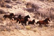 Mustang Horses Running, Wyoming
