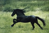 Black Horse Running