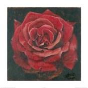 Rosa Roja La Pasion Me Antoja