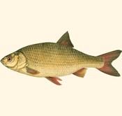 Small Antique Fish II
