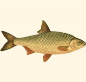 Small Antique Fish VI