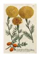 Marigold Magic I